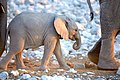 African Elephant Baby Walk3 2019-07-23.jpg