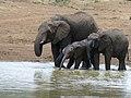 African Elephants (Loxodonta africana) drinking (8291608148).jpg