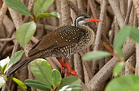 African Finfoot, male breeding.jpg
