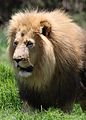African lion, Panthera leo at Krugersdorp Game Park, South Africa (30493140683).jpg