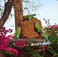 Agapornis roseicollis -Arizona -garden bird feeder-8.jpg