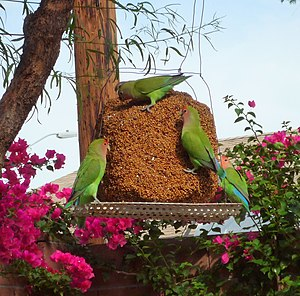 Feral parrot - Feral peach-faced lovebirds eating seeds from a garden feeder in Arizona, US.
