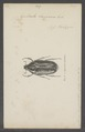 Agestrata - Print - Iconographia Zoologica - Special Collections University of Amsterdam - UBAINV0274 022 03 0024.tif