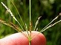 Agrostis stolonifera (3820998158).jpg