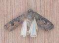 Agrotis ipsilon Grote worteluil vleugels.jpg