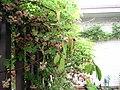 Akebia quinata (vine, fruits, flowers) 12.jpg