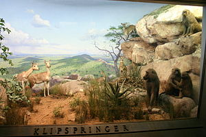 Mary Jobe Akeley - A diorama at the Akeley Hall in the American Museum of Natural History.