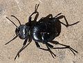 Akis bacarozzo. Tenenbrionidae - Flickr - gailhampshire.jpg