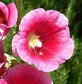 Alcea rosea lv 2.jpg