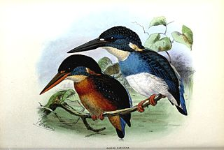 Blue-banded kingfisher species of bird