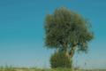 Alentejan Tree.png