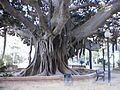 Alicante big tree 2.JPG