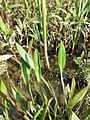 Alisma lanceolatum sl18.jpg
