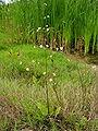 Alisma plantago-aquatica 2006-07-24.jpg
