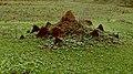 Alive Termite Mound.jpg