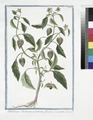 Alkekengi Indicum, minimum, fructu virescente (NYPL b14444147-1125094).tiff