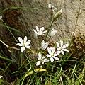 Allium subhirsutum - Άλλιο το υπόδασυ.jpg