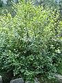 Alnus viridis tree Bulgaria.jpg