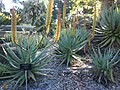 "Aloe hybrid ""Tusker"" Mt Coottha Botanical Gardens, Brisbane, Australia - panoramio.jpg"