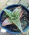 Aloe variegata HYBRID.jpg