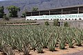 Aloe vera farm Tenerife.jpg