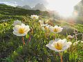 Alpenblühen.jpg