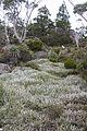 Alpine sedgeland Mt Field NP.JPG