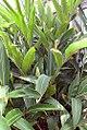 Alpinia zerumbet 8zz.jpg