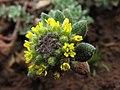 Alyssum simplex (8643314275).jpg