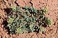 Alyssum simplex kz01.jpg