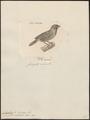 Amadina undulata - 1700-1880 - Print - Iconographia Zoologica - Special Collections University of Amsterdam - UBA01 IZ15900189.tif