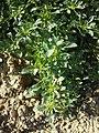 Amaranthus blitoides sl51.jpg