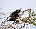 American Anhinga - Flickr - Lip Kee.jpg