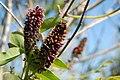 Amorpha fruticosa, Torroella de Montgrí 09.jpg