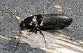 Ampedus-nigrinus-01-fws.jpg
