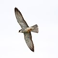 Amur falcon, Falco amurensis, female at Kruger Park (43918209320).jpg