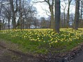 An Ocean of Daffodils - geograph.org.uk - 810312.jpg