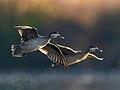Anas erythrorhyncha01.jpg