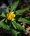 Anemone ranunculoides.jpg