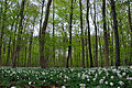 Anemones and beeches (4568204670).jpg
