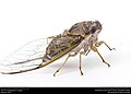 Annual cicada (Cicadidae, Neotibicen sp.) (28934344001).jpg