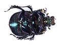 Anoplotrupes stercorosus belly 9131.jpg