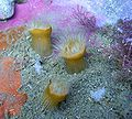 Anthothoe albocincta.JPG