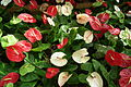 Anthurium at lalbagh flower show 7108.JPG