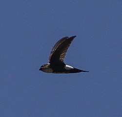 Antillean Palm Swift (Tachornis phoenicobia).jpg