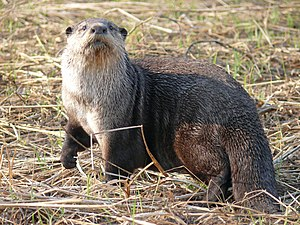 African clawless otter - Image: Aonyx capensis, male, Shamvura