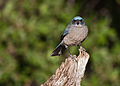 Aphelocoma wollweberi -Madera Canyon, Arizona, USA-8.jpg