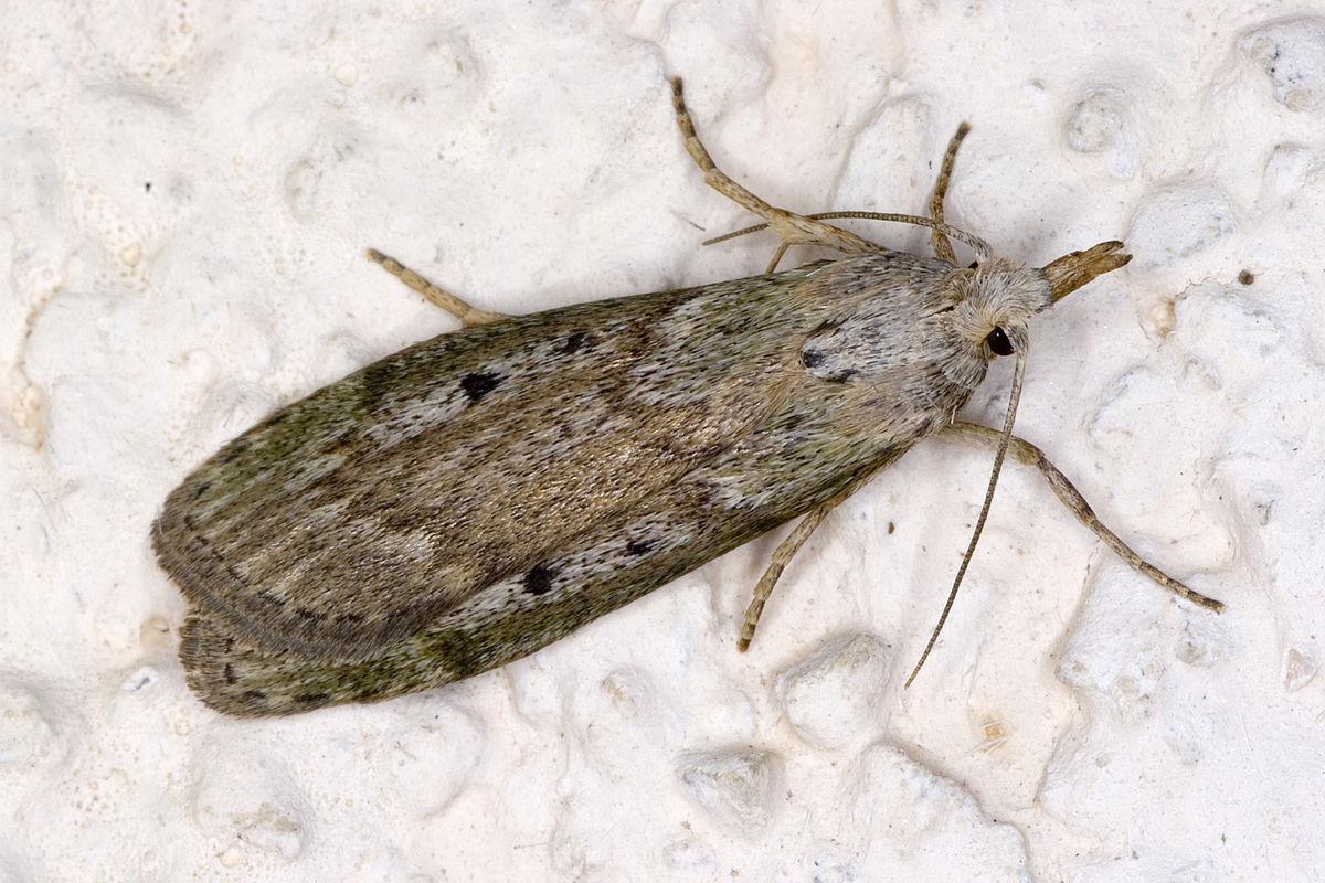 Hummelnestmotte (Aphomia sociella), Weibchen