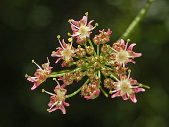 Heracleum sphondylium - Close-up of H. sphondylium flowers
