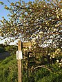 Apple blossom - geograph.org.uk - 467588.jpg